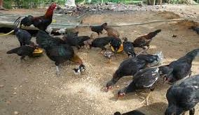 ayam kampung feature